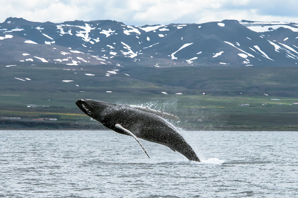 To witness an 18-ton humpback jump out of the water on a Whale watching tour is unforgettable