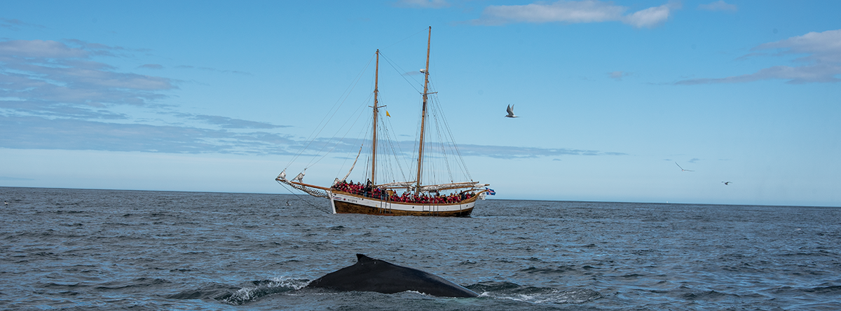 whale watching at husavik sailboat