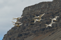 Iceland is a paradise for birdwatchers