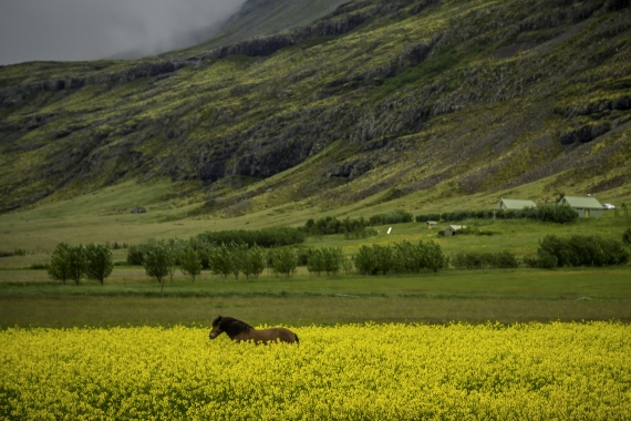 Animals of all kinds are often part of the view while driving and traveling in Iceland