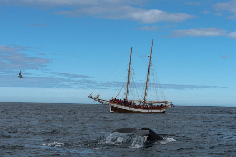 North Sailing has a variety of wonderful old oak fishing boats and schooners that have been modified to safety standards and convenience for whale watching.