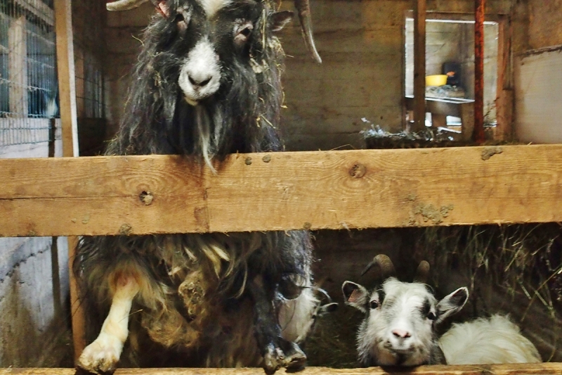 The Icelandic Farm Animals