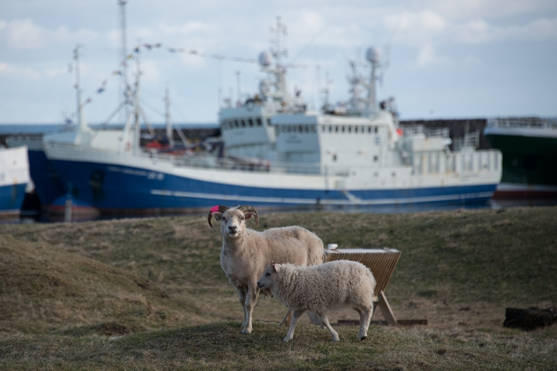 Agriculture still has its place in Grindavík