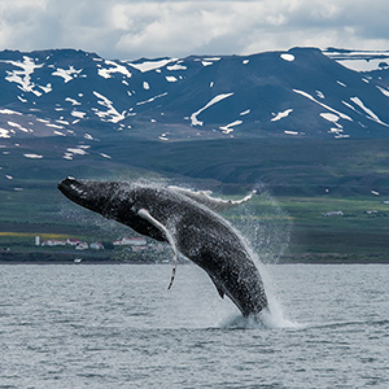 Best Whale Watching Tour In Northern Iceland