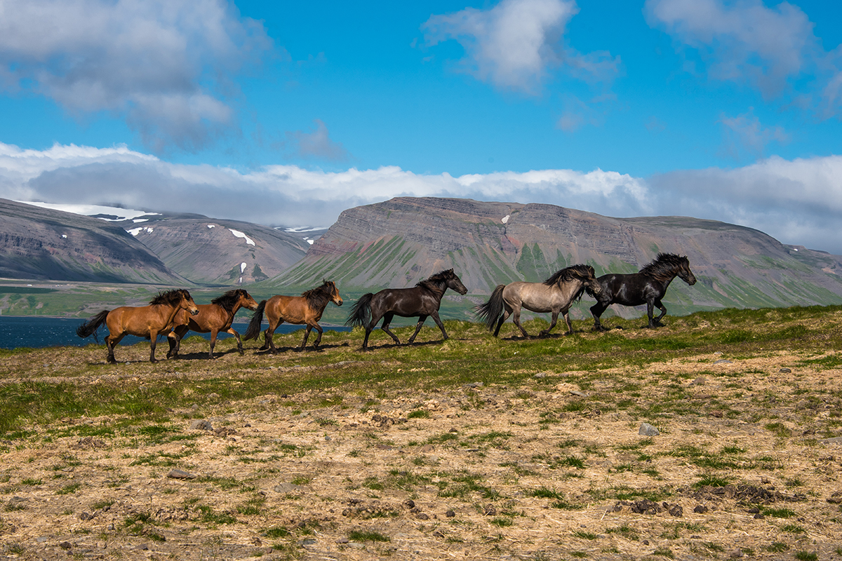 Horses in Ólafsdalur in summer at Westfjords in Iceland