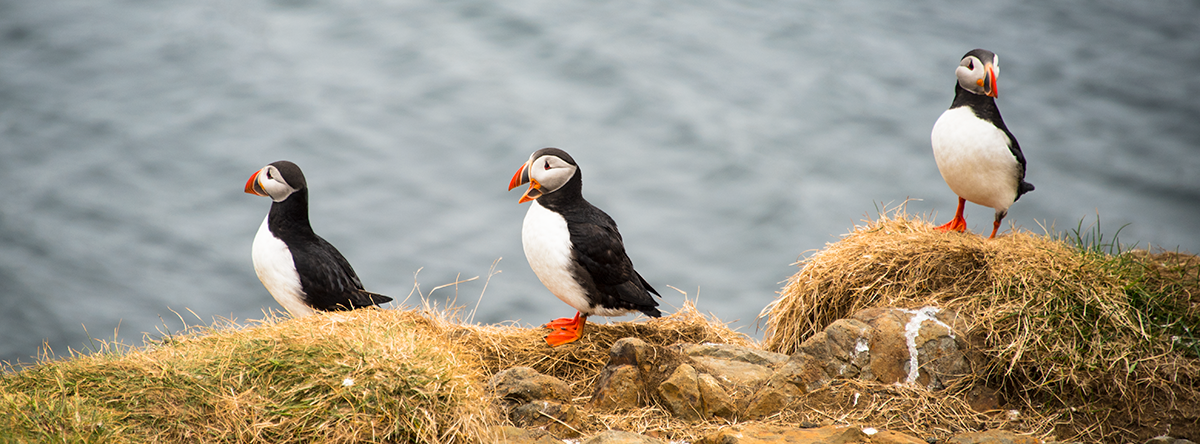 Birdlife and you will see puffins with Sæferðir Viking Sushi