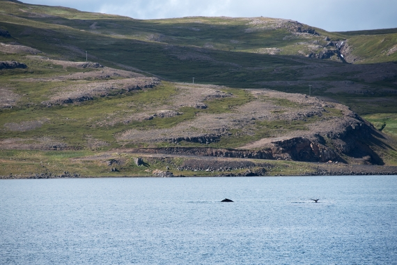 Sometimes you can spot whales while driving in Iceland