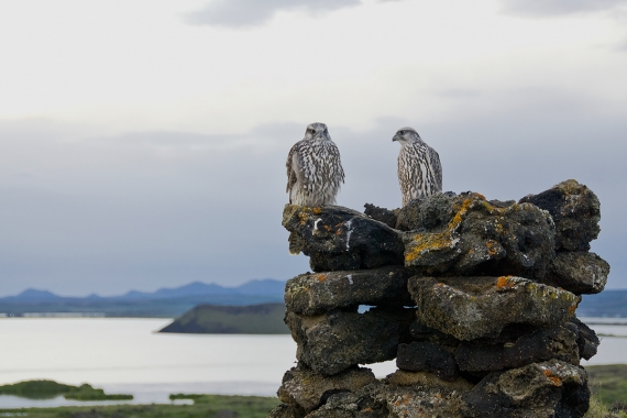 Falcons at Lake Mývatn