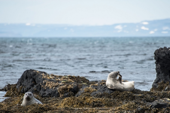 Vatnsnes peninsula is home to a variety of wild arctic animals.