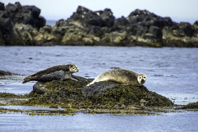 The seals at the Seal Colony at Vatnsnes in Iceland are, as are we, fascinated by the goose and the flock of young ones following her